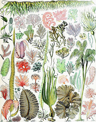 Illustration Of Algae And Seaweed  Art Print