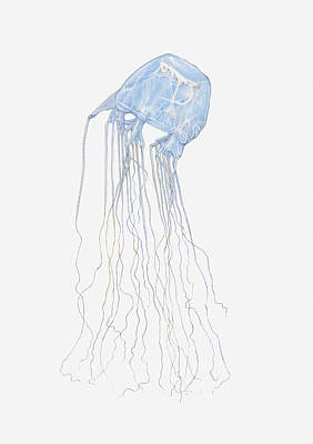 Y120907 Digital Art - Illustration Of Box Jellyfish (cubozoa) by Dorling Kindersley