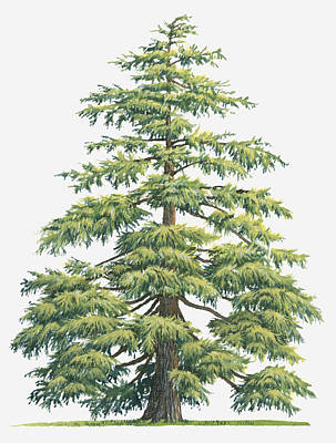 Y120907 Digital Art - Illustration Of Evergreen Cedrus Deodara (deodar Cedar, Himalayan Cedar Tree by Sue Oldfield