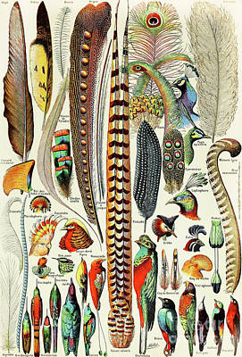 Pheasant Drawing - Illustration Of Feathers And Birds  by Adolphe Philippe Millot