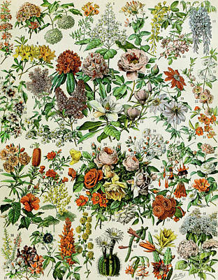 Colorful Drawing - Illustration Of Flowering Plants by Adolphe Philippe Millot