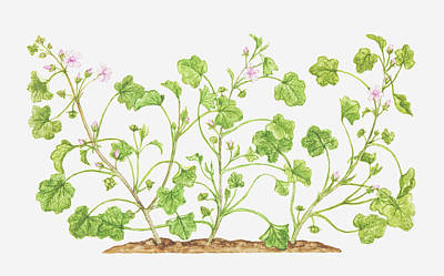 Illustration Of Malva Neglecta (dwarf Mallow), Wildflowers Print by Tricia Newell