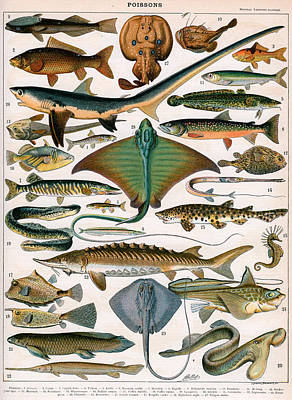 Trout Drawing - Illustration Of Ocean Fish by Alillot