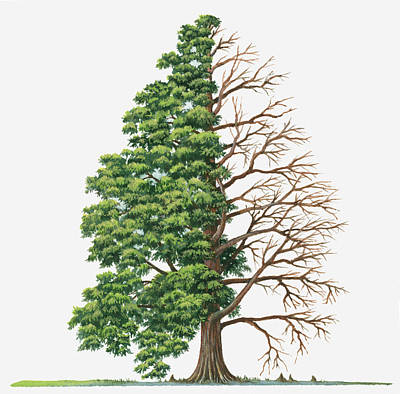 Illustration Showing Shape Of Deciduous Taxodium Distichum (bald-cypress, Swamp Cypress) Tree With Green Summer Foliage And Bare Winter Branches Print by Sue Oldfield