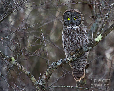 Photograph - I'm Hungry- Great Gray Owl by Lloyd Alexander