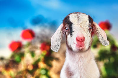 Goat Photograph - I'm In The Rose Garden by TC Morgan