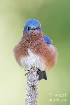 Bluebird Of Happiness Photograph - I May Be Fluffy But I'm No Powder Puff by Bonnie Barry