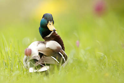 Mallard Duck Photograph - I'm Too Sexy For This Site by Roeselien Raimond