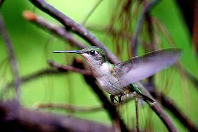 Photograph - Img-3281-001 - Ruby-throated Hummingbird by Travis Truelove