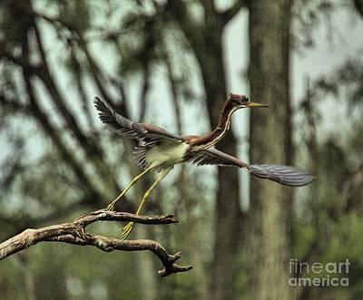 Photograph - Img 6318_ Tri Color Heron by Randy Matthews