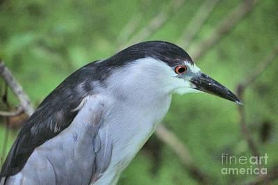 Photograph - Img 6495_ Black Crowned Night Heron by Randy Matthews