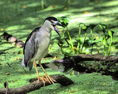 Photograph - Img 6505_ Black Crowned Night Heron by Randy Matthews