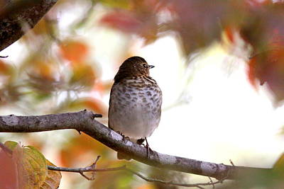 Photograph - Img_0002-020 - Hermit Thrush by Travis Truelove