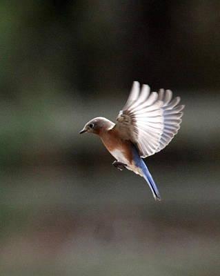 Photograph - Img_0003-05 - Eastern Bluebird by Travis Truelove