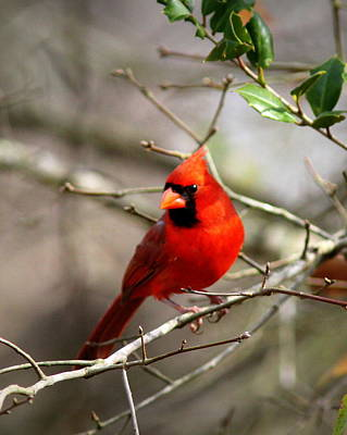 Photograph - Img_0017-006 - Northern Cardinal by Travis Truelove