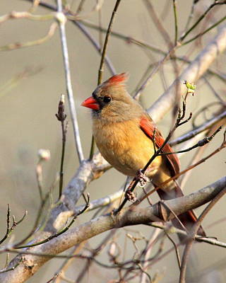 Photograph - Img_0024 - Northern Cardinal by Travis Truelove