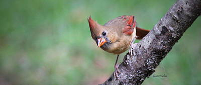 Photograph - Img_0080-001 - Northern Cardinal by Travis Truelove