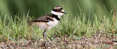 Photograph - Img_0088 - Killdeer - Coffee Mug by Travis Truelove