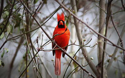 Photograph - Img_0127-004 - Northern Cardinal by Travis Truelove