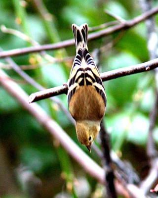 Priska Wettstein Pink Hues - IMG_0145 - American Goldfinch by Travis Truelove