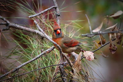 Photograph - Img_0168 - Northern Cardinal by Travis Truelove