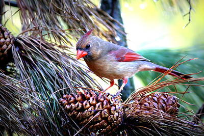 Img_0311 - Northern Cardinal Art Print