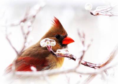 Photograph - Img_0360-005 - Northern Cardinal by Travis Truelove