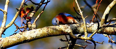 Photograph - Img_0363-005 - Eastern Bluebird by Travis Truelove