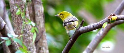 Photograph - Img_0433-005 - Pine Warbler by Travis Truelove