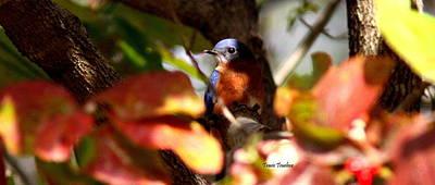 Photograph - Img_0484-004 - Eastern Bluebird by Travis Truelove