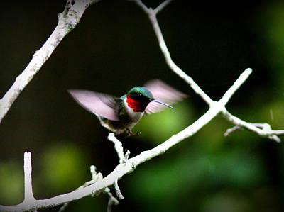 Photograph - Img_0707-003 - Ruby-throated Hummingbird by Travis Truelove