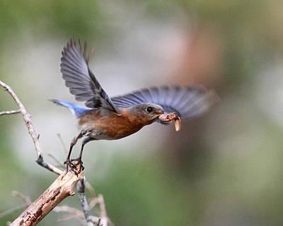 Photograph - Img_0824 - Eastern Bluebird by Travis Truelove