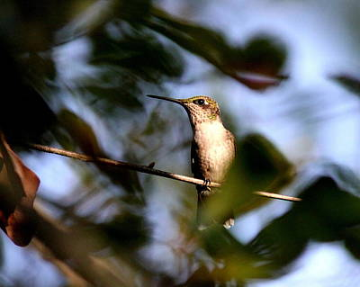Photograph - Img_0858 - Ruby-throated Hummingbird by Travis Truelove