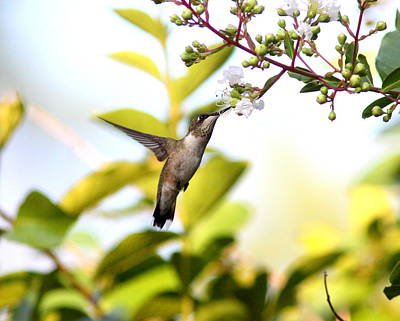 Photograph - Img_0862-004 - Ruby-throated Hummingbird by Travis Truelove