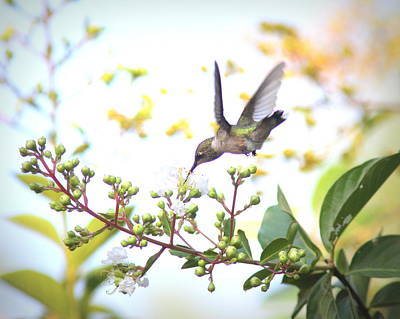 Photograph - Img_0879-001 - Ruby-throated Hummingbird by Travis Truelove