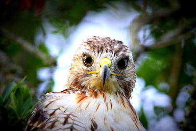 Photograph - Img_102692 - Red-tailed Hawk by Travis Truelove