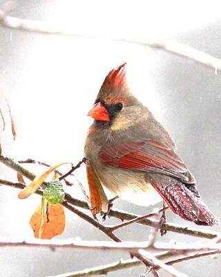 Photograph - Img_103272-006 - Northern Cardinal by Travis Truelove