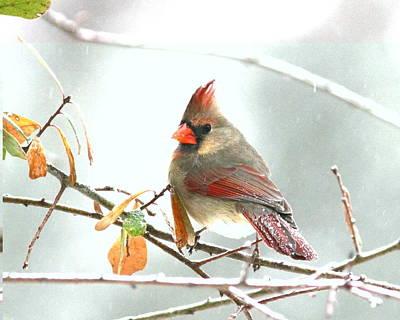 Photograph - Img_103272-007 - Northern Cardinal by Travis Truelove