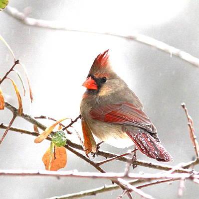 Photograph - Img_103272-008 - Northern Cardinal by Travis Truelove