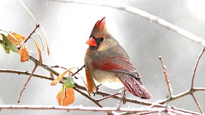 Photograph - Img_103272-009 - Northern Cardinal by Travis Truelove