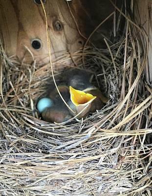 Photograph - Img_1156 - Eastern Bluebirds by Travis Truelove