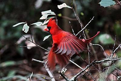 Photograph - Img_1158 - Northern Cardinal by Travis Truelove
