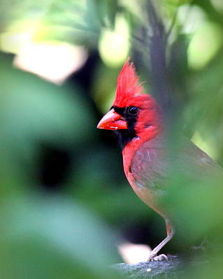 Photograph - Img_1257-001 - Northern Cardinal by Travis Truelove