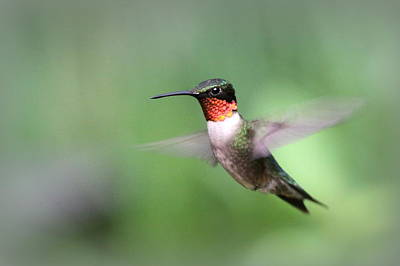 Modern Sophistication Beaches And Waves - IMG_1328 - Ruby-throated Hummingbird by Travis Truelove