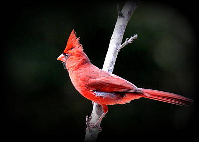 Photograph - Img_1391-006 - Northern Cardinal by Travis Truelove