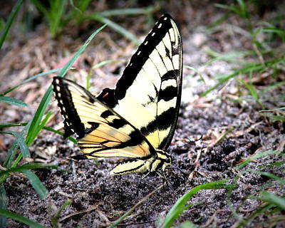 Photograph - Img_1451-001 - Tiger Swallowtail Butterfly by Travis Truelove