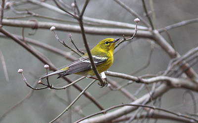 Photograph - Img_1537- Pine Warbler by Travis Truelove