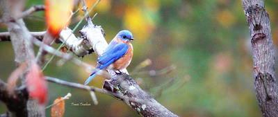 Photograph - Img_1651-002 - Eastern Bluebird by Travis Truelove