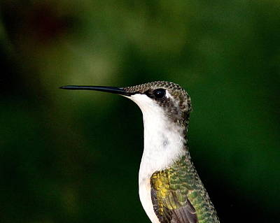 Photograph - Img_1696-001 - Ruby-throated Hummingbird by Travis Truelove