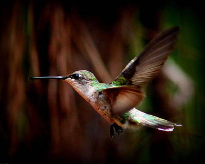 Photograph - Img_1662 - Ruby-throated Hummingbird by Travis Truelove